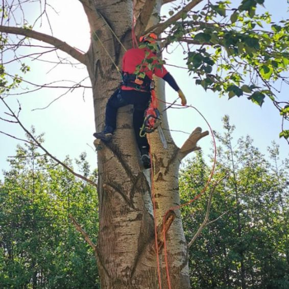 Carntyne arborist in action